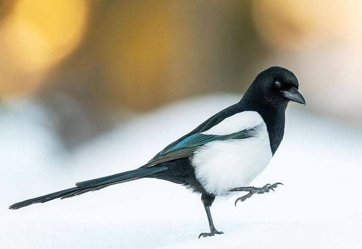 Stepping magpie