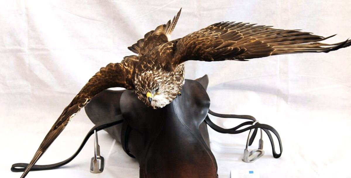 Taxidermy of Kestrel flying from a saddle